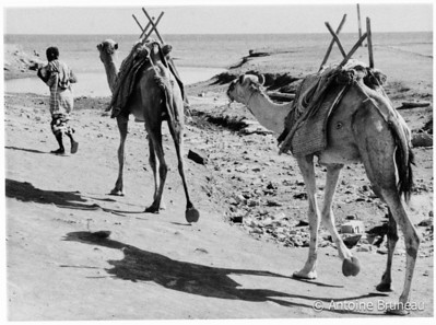 Camels and herder in Tadjoura.
