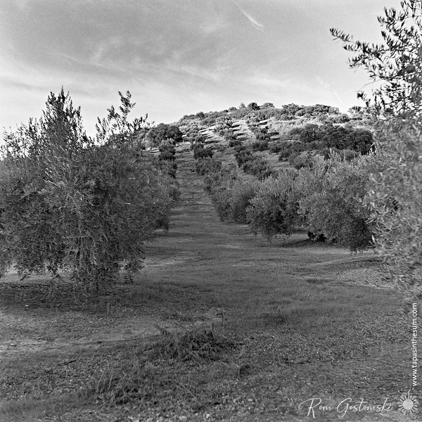 Oive groves