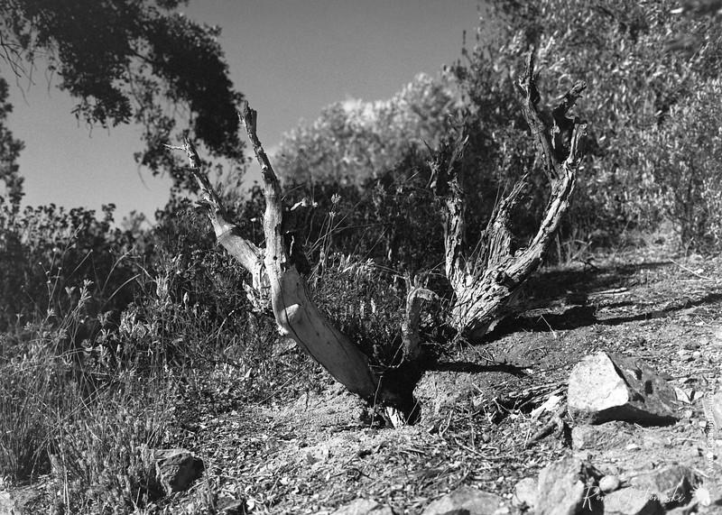 Dried tree stump