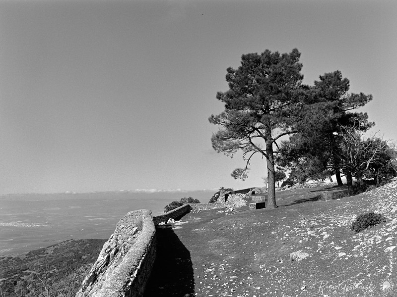Pine trees by the edge