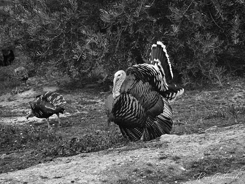 Turkeys in the olive groves
