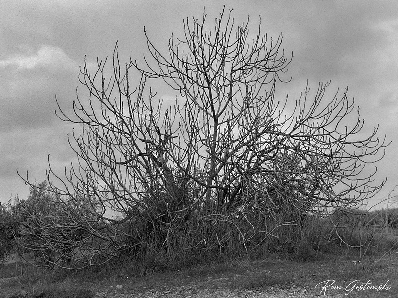Hibernation - a fig tree in winter