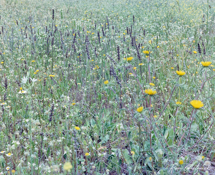 Wild flowers in the olive groves