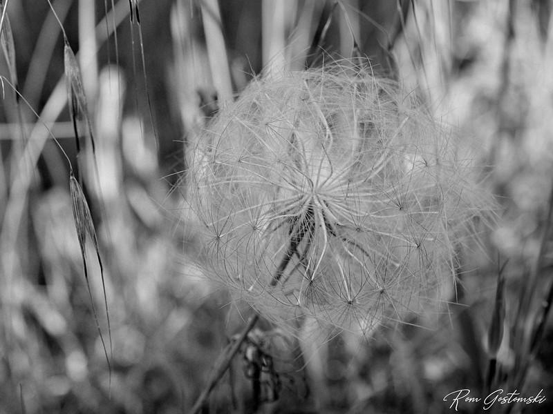 Puff ball seed head
