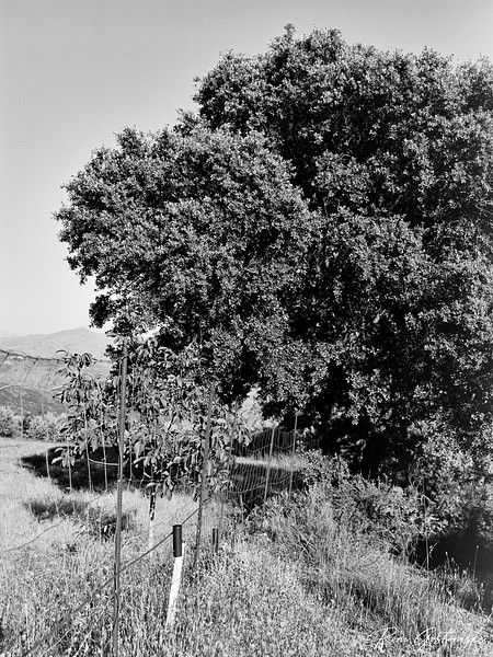 Makeshift fence by an old oak tree