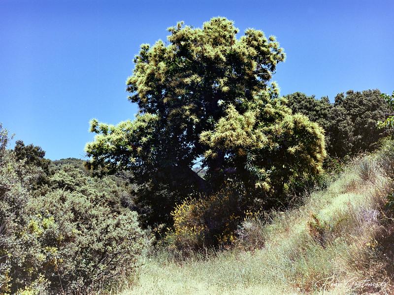 Chestnut tree in flower