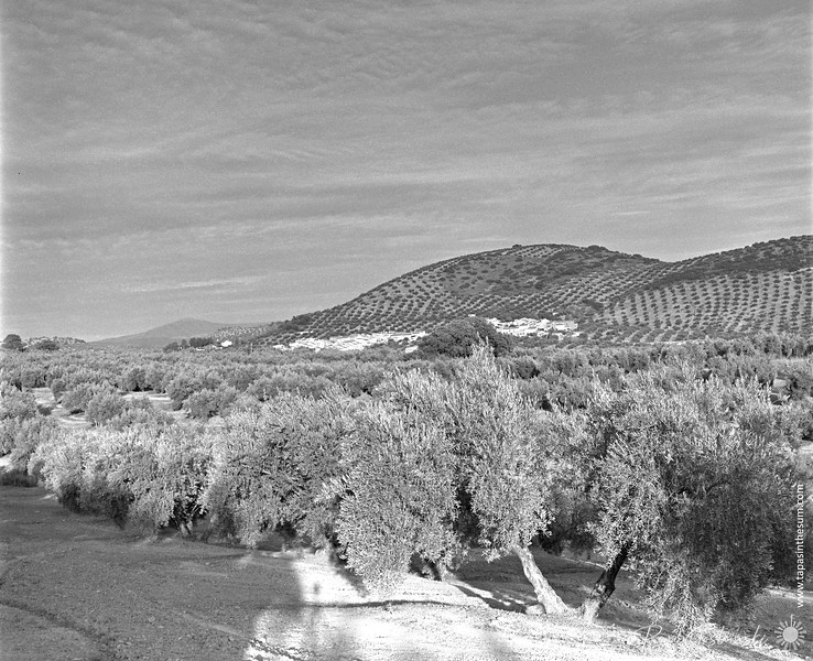 The olive groves of Andalucia