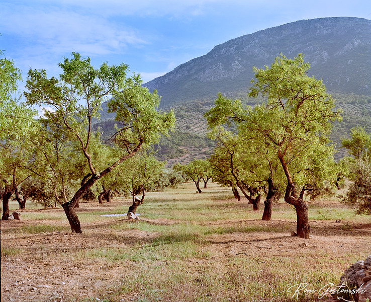 Almond trees in the olive groves
