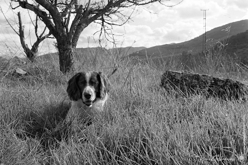 My Springer Spaniel Chester - he loves to pose for the camera!