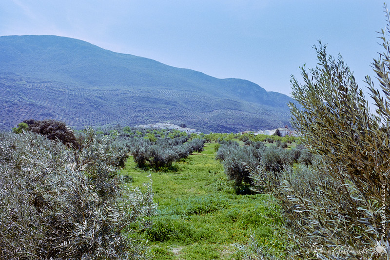 Olive groves and almond trees