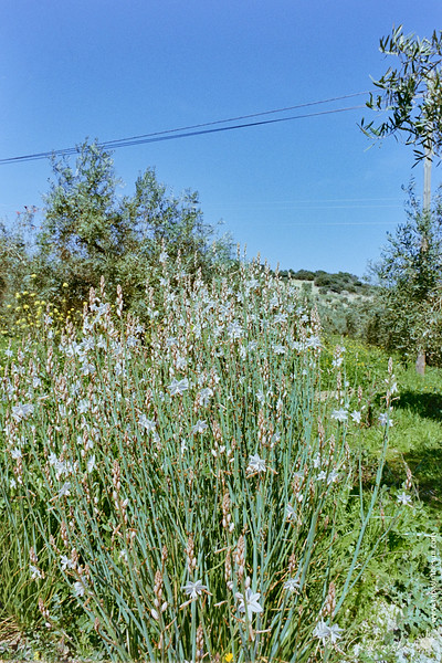 Flowers in the olive groves