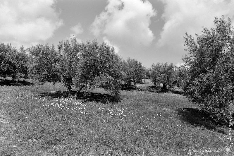 Olive groves in Spring