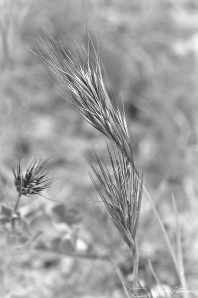 Wild grass seedhead