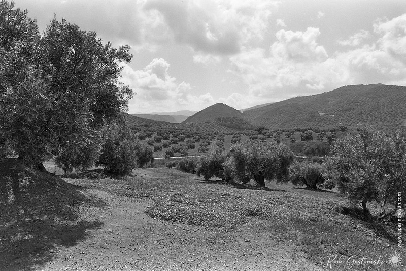 Andalucian olive groves