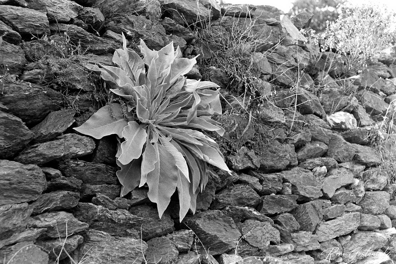 Amazing what grows on a dry stone wall