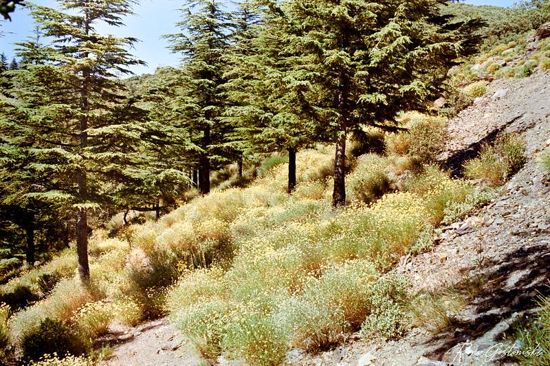 Pine trees in the Sierra Nevada Natural Park, Spain