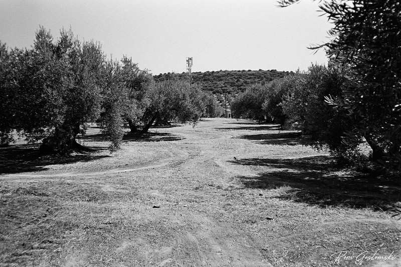 The olive groves near Las Casillas