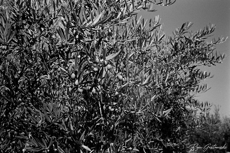 Olives growing on a tree