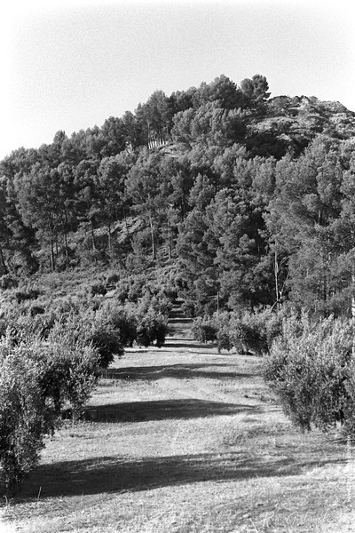 Olive groves and pine forest