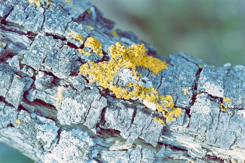 Lichen on dead bark