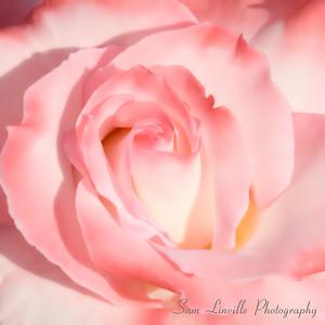 2006-05-06-SL-Rose 12 X 12_