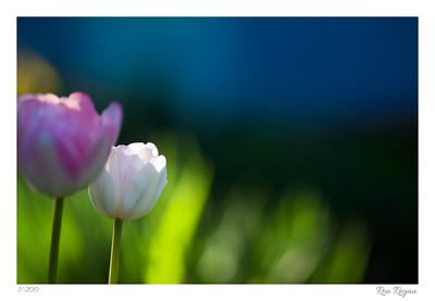 Tulip Purity