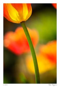 Into the tulip