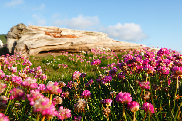 Coastal flowers create vibrant splashes of color among the rocks and driftwood lining the Pacific Ocean.