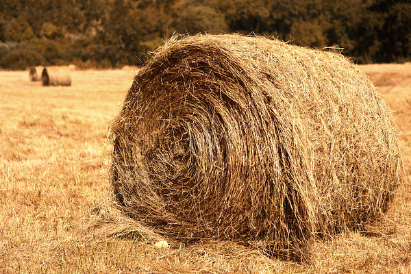 Hay!  That time of year again.  Summer heat at it's fullest, grass dries out and, well, hay!