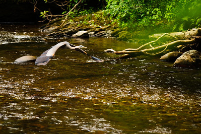 Great Blue Heron on the Little River in the Smokies