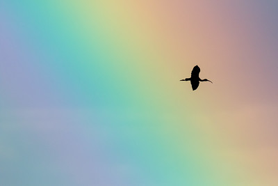 Silhouetted White-faced ibis, Plegadis chihi, flying through a rainbow at Frank Lake, Alberta, Canada.