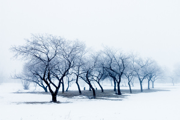 Tree row draped in fog near Drumheller, Alberta, Canada.