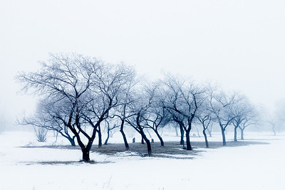 Tree row draped in fog near Drumheller, Alberta, Canada.