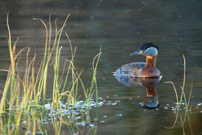Red-necked grebe, Podiceps grisegena, in Beauvais Lake Provincial Park, Alberta, Canada.
