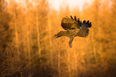 Great grey owl, Strix nebulosa, in flight near Westlock, Alberta, Canada.