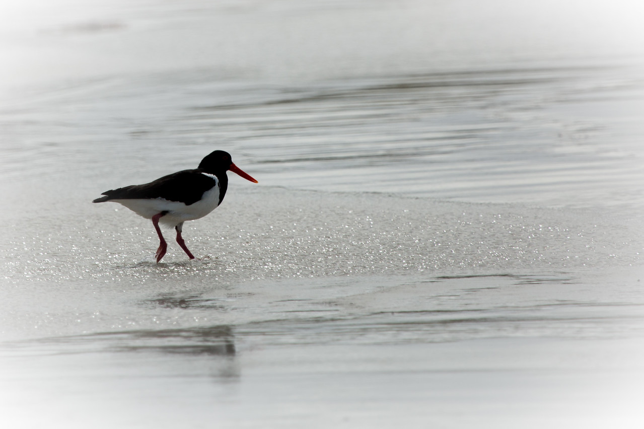 Pied oystercatcher, South Australia