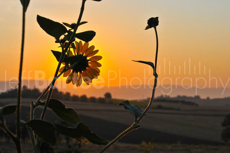 Sunrise, Sunflower.  Cortona, Italy