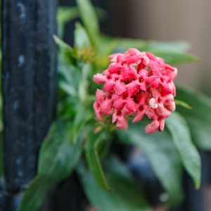 I love the contrast of the softness of the flower and its leaves with the iron post.