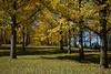 Gingko trees at State Arboretum of Virginia