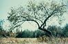 Maine Apple Tree