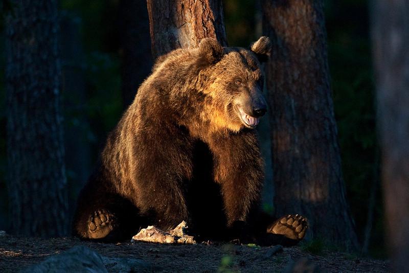 Brown Bear resting. John Chapman.