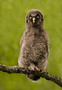 Baby Great Grey Owl.