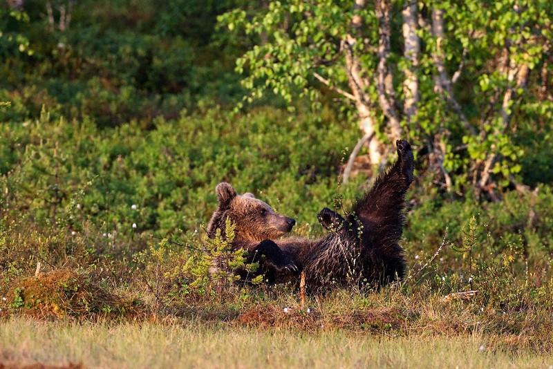Bear having fun.