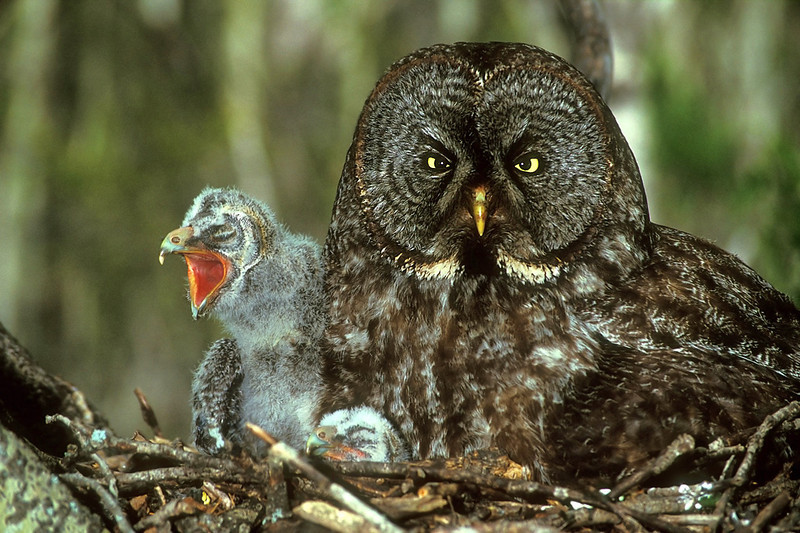 "Great Grey Owl with chicks. John Chapman.<br /> <a href=""http://www.wildsnowytours.com/index.html"">http://www.wildsnowytours.com/index.html</a>"
