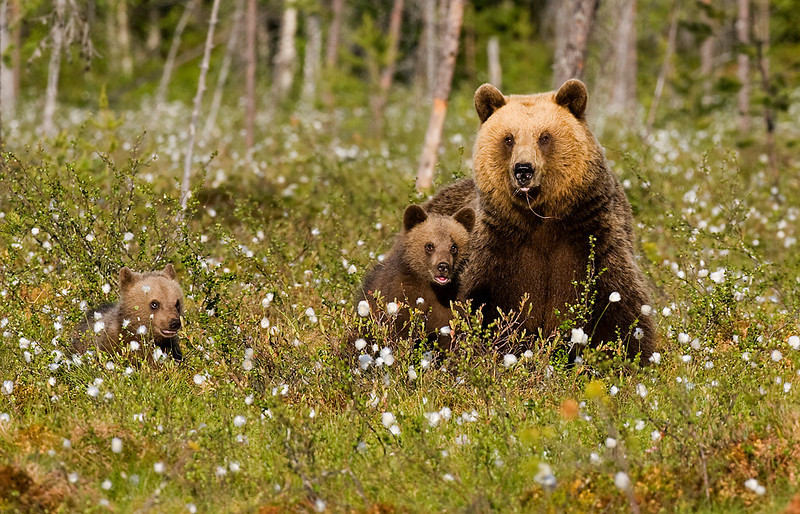 Mum with Cubs.