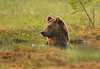 Brown Bear having a bath.