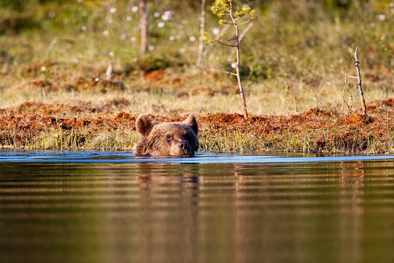 Brown Bear having a dip.