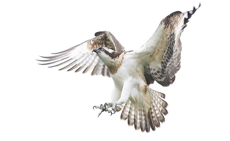 Juv. Osprey.