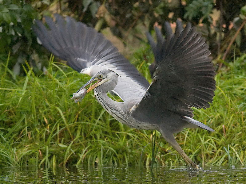 Grey Heron with fish.