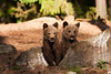 Brown Bears Cubs. John Chapman.